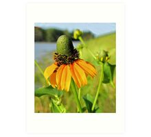Clasping-Leaf Coneflower  Art Print