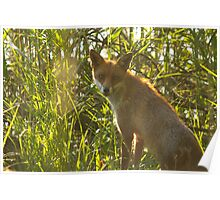 European Red Fox Poster