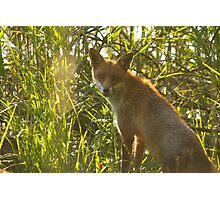 European Red Fox Photographic Print