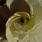 White Rose by Ariel Faraci