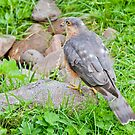 Sparrow Hawk by Margaret S Sweeny