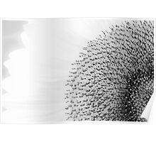 Sunflower on white Poster
