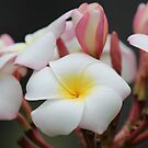 Frangipani by Bob Hardy