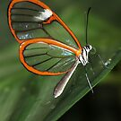 Clear-wing Butterfly by Robbie Labanowski
