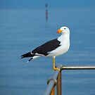 Pacific Gull by David Toolan