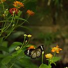 Butterfly by tm-photography3