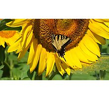 Eastern Tiger Swallowtail on  a Sunflower Photographic Print