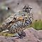White-Tailed Ptarmigan by Kim Barton