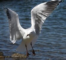 Silver Gull Prepares to Land by Nikki25