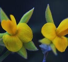 Jacksonia stackhousei by andrachne