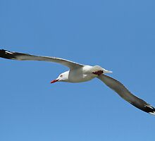 Silver Gull Flying by Nikki25