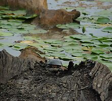 turtles at Lake Erie by jolynncreations