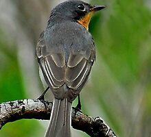 Broad-Billed Flycatcher by Leslie-Ann