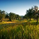 Olive Grove Sunset, Zakynthos, Greece by Giles Clare