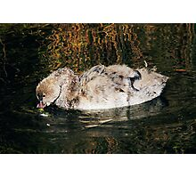 Baby Swan No1 Photographic Print