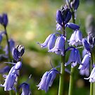 Blue Bells by Gabrielle  Lees
