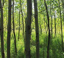 Poplar Grove by Jim Sauchyn
