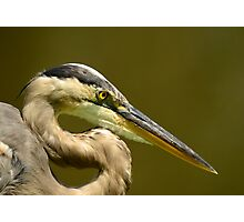 "GIANT ""S"" WITH A BEEK (Great Blue Heron) Photographic Print"