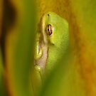 Baby Green Tree Frog by Kathy Baccari