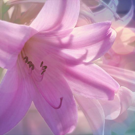 Lily Dream by Jess Meacham
