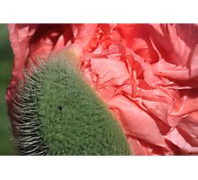 Silk revealed: giving up on thorns Photographic Print
