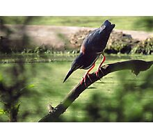 Green Heron on the Hunt Photographic Print