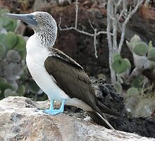 blue footed boobie 2 by Anne Scantlebury