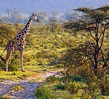 Giraffe in the Savannah by Jennifer Sumpton
