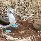blue footed boobie stepping by Anne Scantlebury