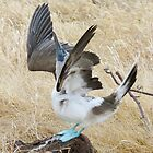 blue footed boobie 5 by Anne Scantlebury