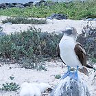 blue footed boobie 6 by Anne Scantlebury