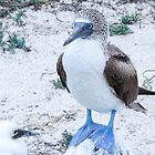 blue footed boobie 7 by Anne Scantlebury