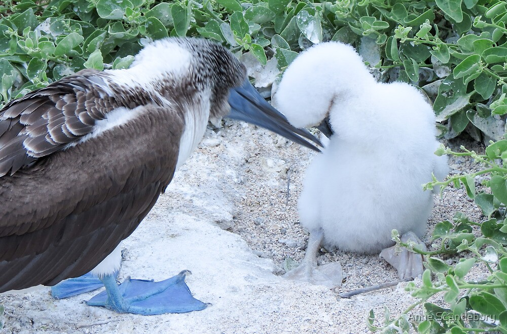 blue footed boobie and chick 1 by Anne Scantlebury