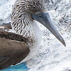 blue footed boobie 10 by Anne Scantlebury