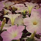 Pretty Petunias by ACampbell