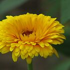 Yellow Flower by VJSheldon