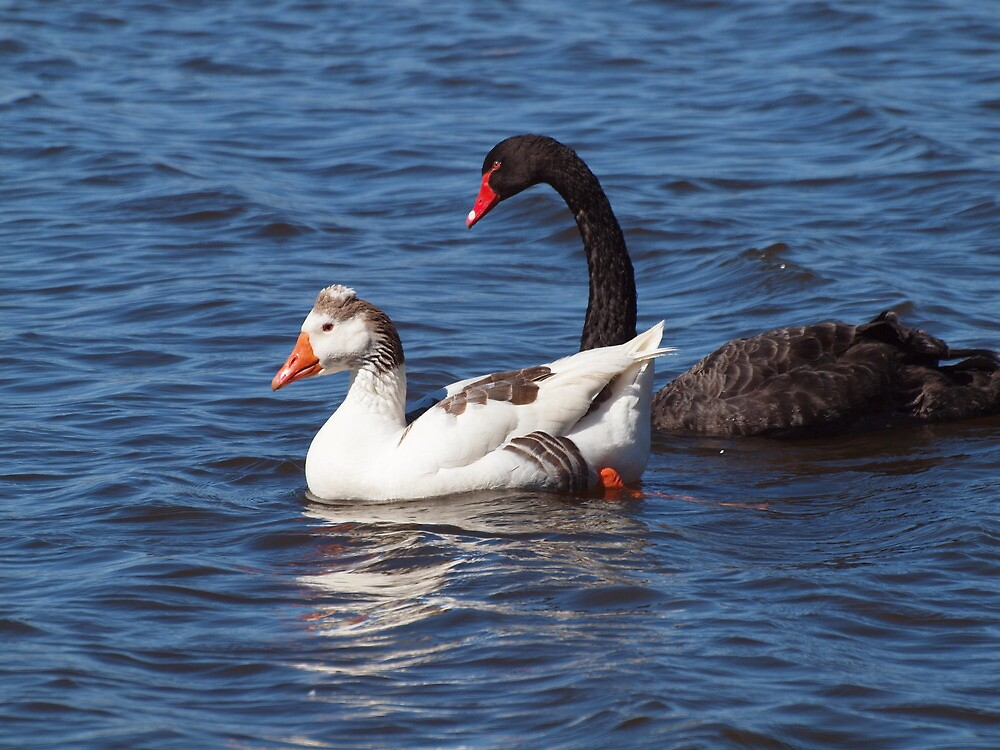 Lake Burley Griffin's Odd Couple by shortshooter-Al