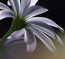 End of the day daisy study2 by Fizzgig7