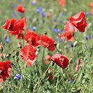 poppy flower no.9 by Falko Follert