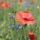 poppy flower no 16 by Falko Follert