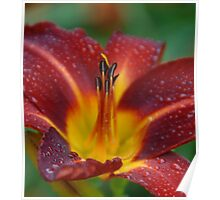 Red Lily open with raindrops  Poster