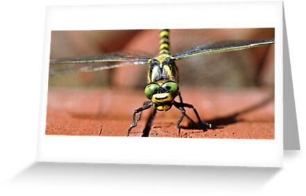 Golden-ringed Dragonfly by Russell Couch