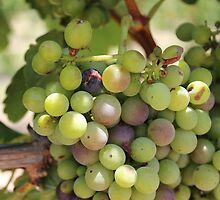 Winery Grapes by aprilann