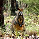 Swamp Wallaby, Bend of Islands, Victoria, Australia. by Ern Mainka
