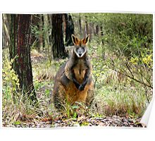 Swamp Wallaby, Bend of Islands, Victoria, Australia. Poster