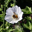 Bee On White Flower by LoneAngel