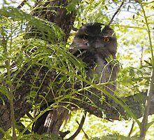 Tawny Frogmouth - Kensington Gardens, South Australia by Dan & Emma Monceaux