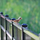 Female Cardinal by savvysisstudio
