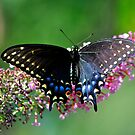 Black Swallowtail by savvysisstudio