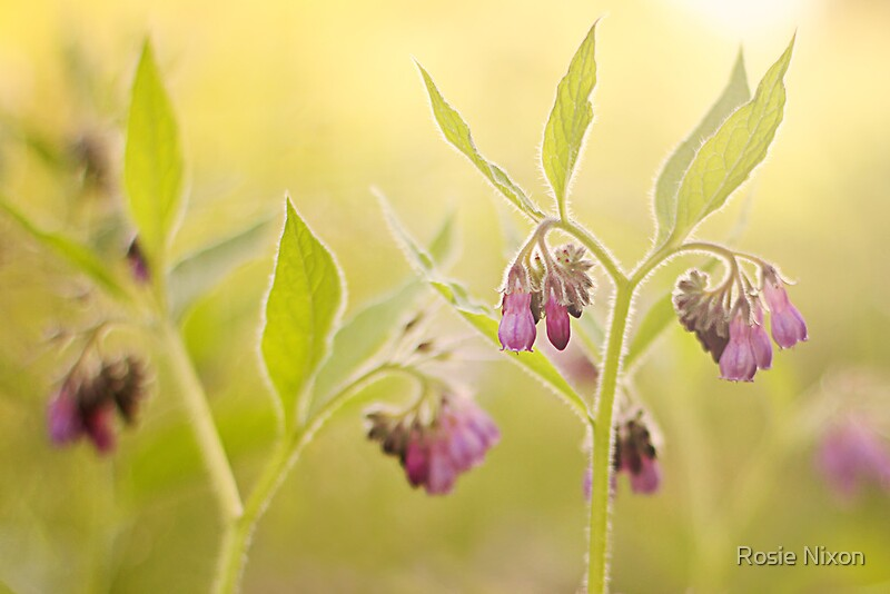 fix colour casts - comfrey | Symphytum officinale | fine art print by Rosie Nixon